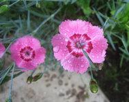 Гвоздика гибридная - Цветы розовой гвоздики