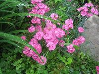 Гвоздика гибридная - Цветение