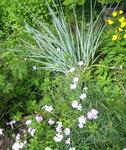 Гвоздика гибридная - Июльское цветение