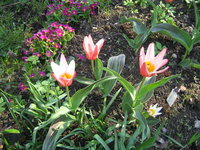 Тюльпаны ботанические - Тюльпан Кауфмана Heart's Delight
