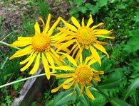 Гелениум весенний - Высокий цветонос