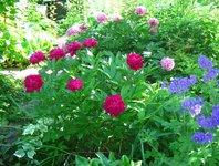 Пионы травянистые - Темно-красный пион среднего срока цветения. Сорт неизвестен.