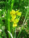 Ирис болотный - цветет обычно.
