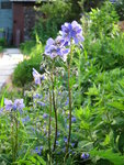 Синюха Bressingham purple