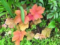 Гейхера  Southern Comfort - июньская окраска листьев