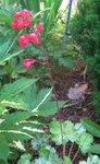 Гейхера  Muscat - Цветёт  с середины июня