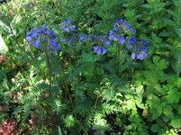 Синюха Bressingham purple - Цветение в начале июня