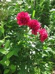 Пионы травянистые - ранний - officinalis Rubra Plena