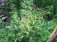 Герань красно-бурая Springtime - Цветение в июне