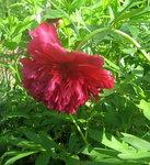 Пионы травянистые - officinalis Rubra Plena