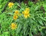 Гелениум весенний - Цветение в июне