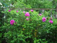 Розы видовые - Rosa rugosa