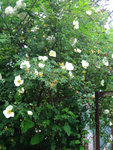 Розы видовые - Rosa pimpinellifolia Double White