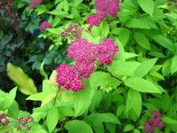 Спирея японская Goldflame - Яркие цветы
