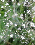 Гипсофила метельчатая - Цветы