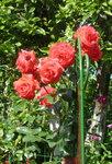 Розы Кордеса - Salita