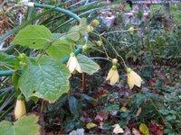 Киренгешома дланевидная - цветение в сентябре