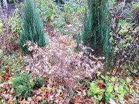 Клен веерный Red Pygmy - после октябрьских заморозков