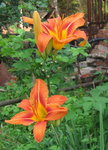 Лилейник - Нemerocallis fulva