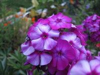 Флокс метельчатый - Отелло в конце цветения