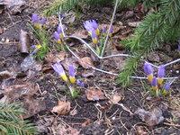 Крокусы весеннецветущие - Триколор