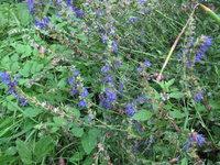 Иссоп лекарственный - С голубыми цветами