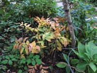 Увулярия крупноцветковая - Сентябрь