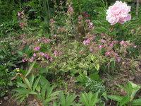 Смолевка двудомная Valley High - цветение в июне