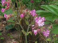 Смолевка двудомная Valley High - цветы