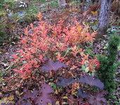Спирея японская Goldflame - Окраска листьев в конце октября