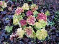 Гейхера Tiramisu  - Осенняя окраска листьев