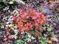 Горянка крупноцветковая Lilafee - Начало ноября