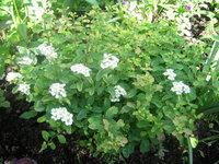 Спирея ниппонская GerlvesRainbow - Цветение в начале июня