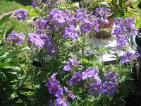 Герань грузинская - Конец июня - конец цветения герани