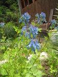 Хохлатка высокая - Цветение в конце июня