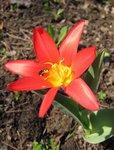Тюльпаны ботанические - Тюльпан Кауфмана Scarlet Baby