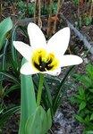 Тюльпаны ботанические - Тюльпан Фостера Concerto