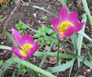 Тюльпаны ботанические - Тюльпан красивый Persian Pearl