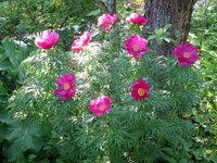 Пионы травянистые - Марьин корень в середине мая