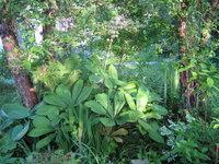 Роджерсия конскокаштанолистная - цветение в июне