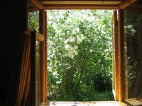 Чубушник обыкновенный - вид из окна на куст жасмина
