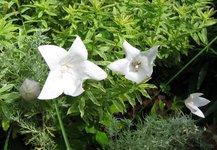 Платикодон крупноцветковый - Белая форма