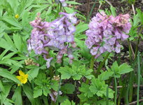 Хохлатка клубневая - Цветение в конце апреля