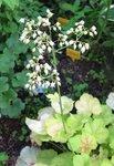 Гейхера Tiramisu  - Цветение