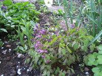 Горянка крупноцветковая Lilafee