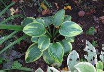 Хоста Tokudama Flavocircinalis - молодое  растение