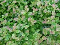 Спирея ниппонская GerlvesRainbow - Молодые листья