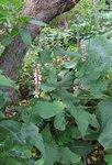 Горец стеблеобъемлющий - rosea