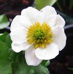 Калужница Himalayan Snow - Цветок крупно