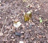 """Подофилл щитовидный - Эти """"грибочки"""" - предвестники листьев. Снято 1 мая."""